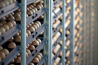 Control de temperatura en área de incubación en Pilgrim's Pride